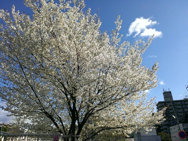 仙台でこの時期に見頃な桜あり